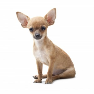 little-dog-big-ears-300x300