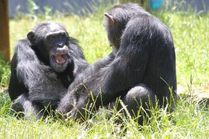 photo of 2 chimpanzees at Chimp Haven